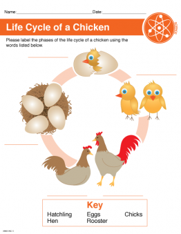 Chicken Life Cycle Printable